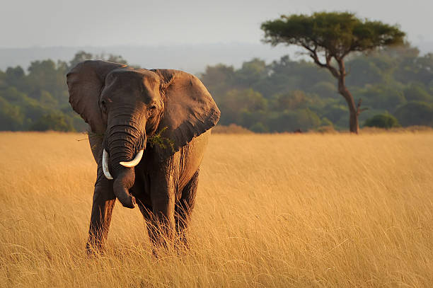 Kenya - August 12, 2010 An African Elephant (Loxodonta africana) on the Masai Mara National Reserve safari in southwestern Kenya. african elephant stock pictures, royalty-free photos & images