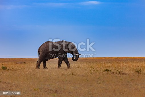 Kenya, East Africa - An adult African Elephant seen grazing on the Masai Mara National Reserve in the late afternoon sunlight. A blue sky meets the rift valley in the distant horizon. Horizontal format. Copy Space. Camera: Canon EOS 5D MII. Lens Canon EF 70-200 mm F2.8L IS USM.