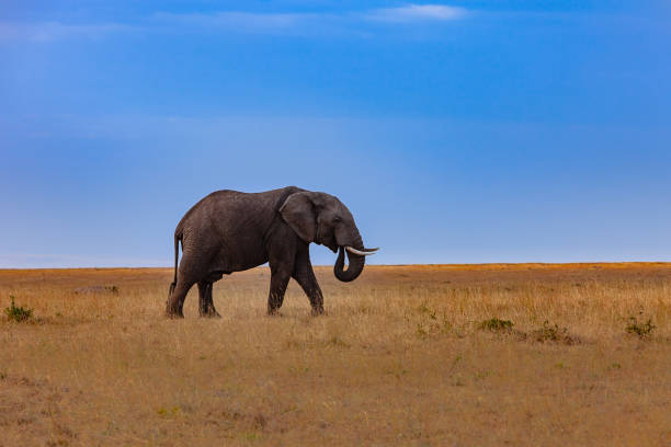 Kenya, East Africa - Single, Adult African Elephant on the Masai Mara National Reserve In The Late Afternoon Sunlight stock photo