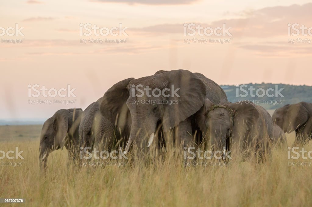 Kenya Elephant Matriarch Group With Family Leading Herd