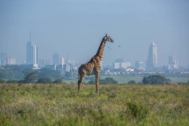 Kenya: Masai giraffe stock photo