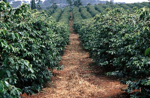 Kenyan coffee plantation
