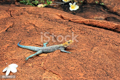 It is often confused with the red-headed rock agama.
