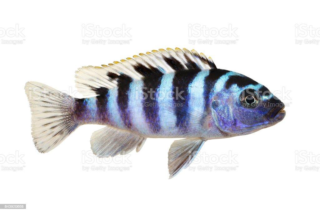 Kenyi or Kennyi cichlid Maylandia lombardoi aquarium fish stock photo