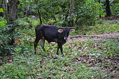 Kerala Buffalo