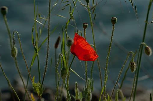 Kerkini shore lake with poppy flower