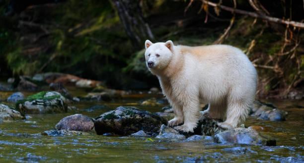 Kermode (Spirit) Bear hunting for salmon in Canada's Great Bear Rainforest stock photo
