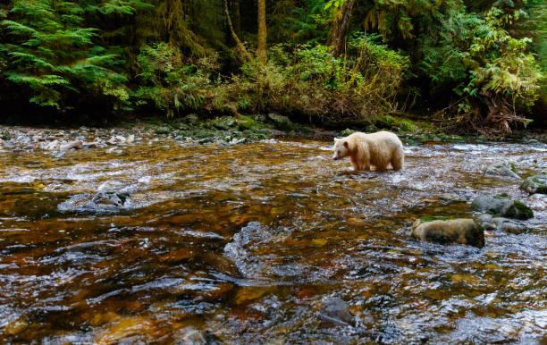 salmão de caça de urso kermode espírito na floresta tropical de ursa maior do canadá - com os pés na água - fotografias e filmes do acervo
