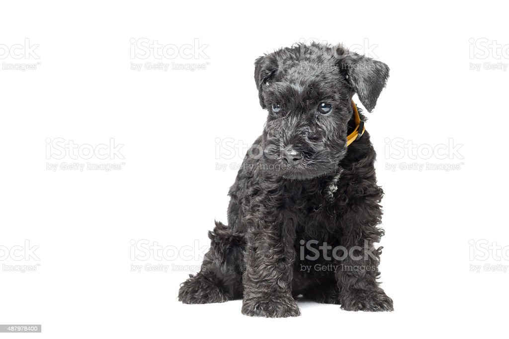 Kerry blue terrier puppy stock photo