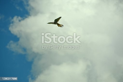 Single kestrel (Falco tinnunculus) hovering high in front of a large cloud.Looking for prey.