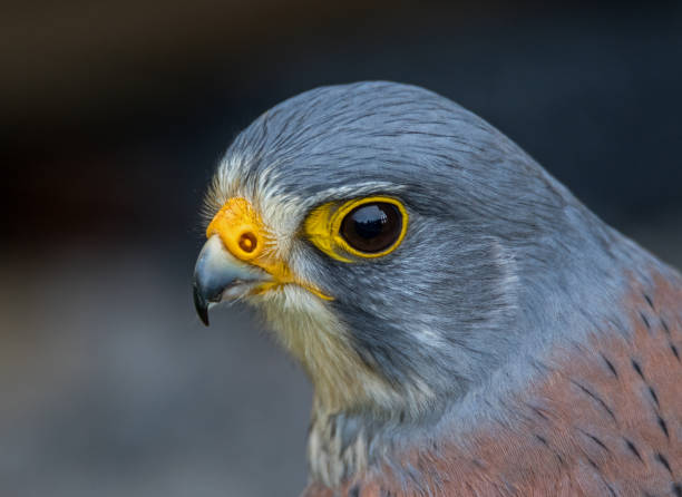 kestrel close up. - falcon bird stock photos and pictures