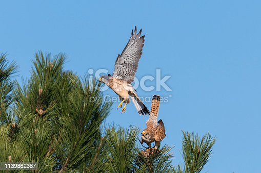 Kestrel couple on a pine while mating in front of blue sky
