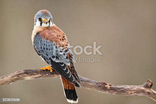 Kestrel with soft background