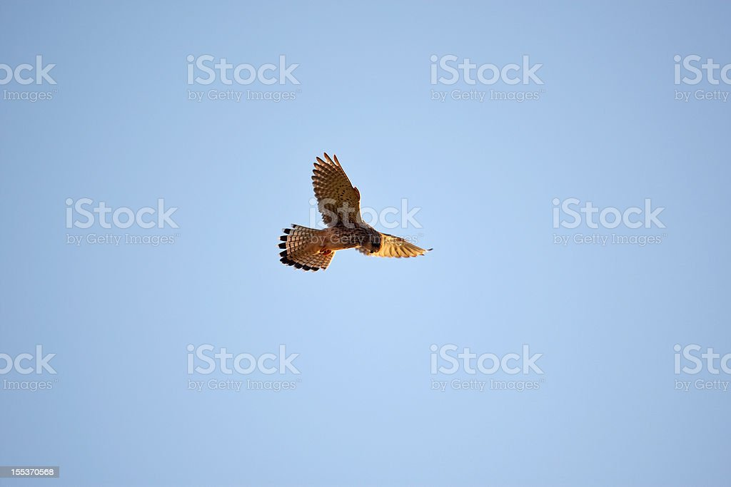 Kestrel hovering in mid-air over beach at sunset royalty-free stock photo