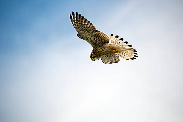 kestrel hovers above ready to swoop on its prey - falcon bird stock photos and pictures