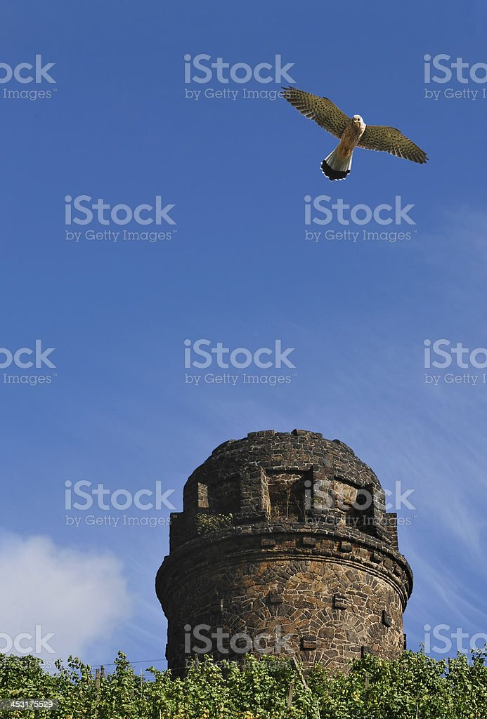 Kestrel (Falco tinnunculus) in a vineyard with an old watchtower stock photo