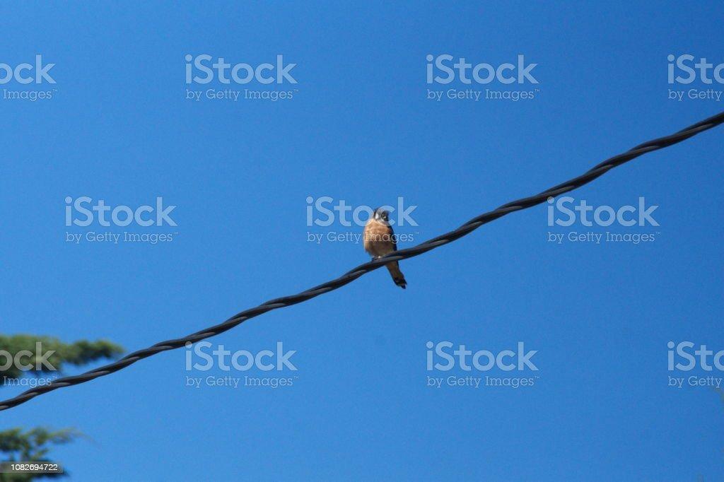 Kestrel on a power line stock photo