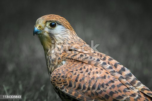 The common kestrel (Falco tinnunculus)  perched on grass