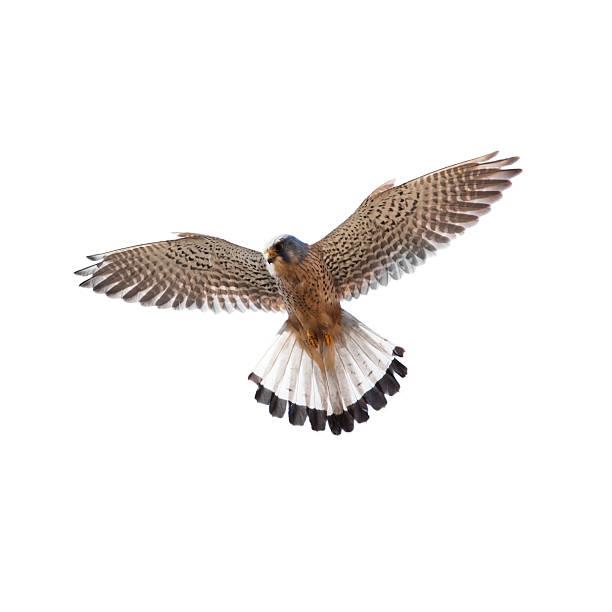 kestrel (falco tinnunculus) - falcon bird stock photos and pictures