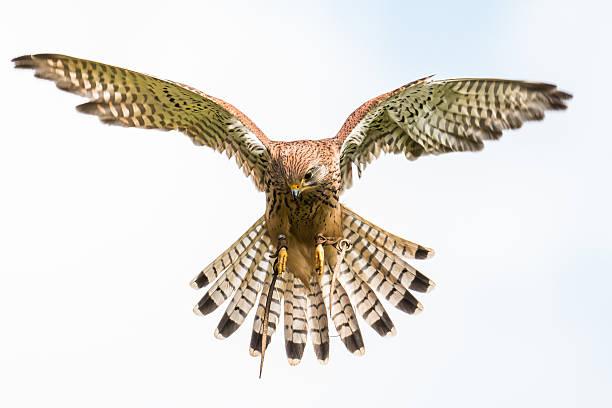 kestrel - falcon bird stock photos and pictures
