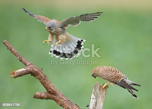 Male Kestrel flying.