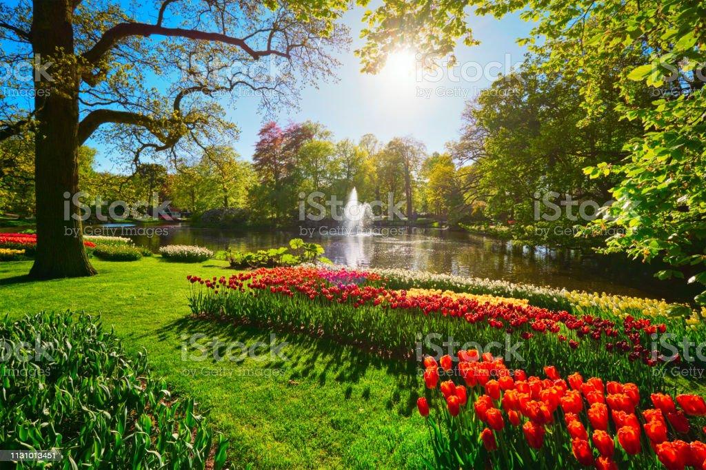 Keukenhof flower garden. Lisse, the Netherlands. Keukenhof flower garden with blooming tulip flowerbeds. One of the world's largest flower gardens. Lisse, the Netherlands. Agricultural Field Stock Photo