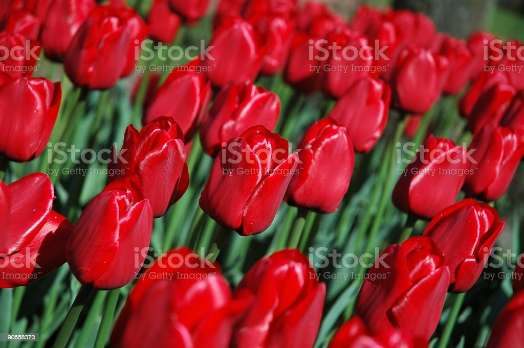 Keukenhof Tulips royalty-free stock photo