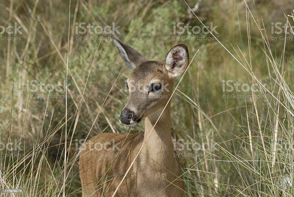 Key Deer stock photo