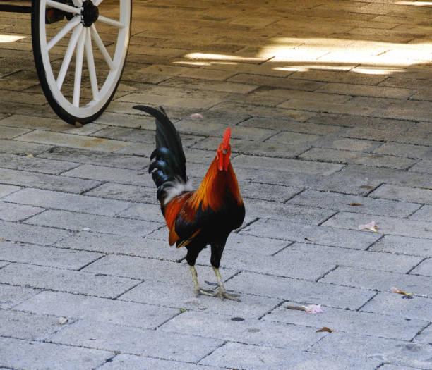 Key West Rooster on Sidewalk stock photo
