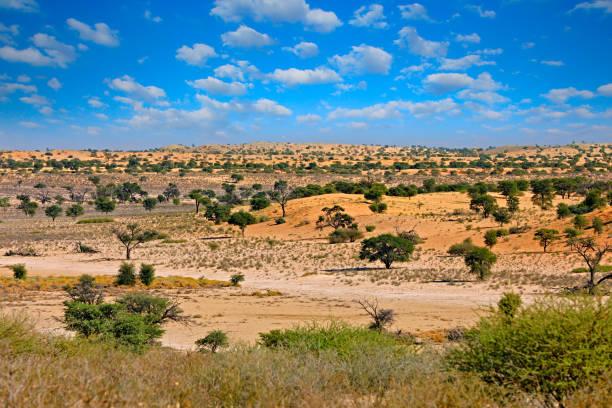 kgalagadi landskap, nära kij kij vattenhål. solig varm dag i afrika. kgalagadi transfrontier park, sydafrika. apelsin och röd sanddyn med grön vegetation (buske, träd). reser afrika. - gemsbok green bildbanksfoton och bilder