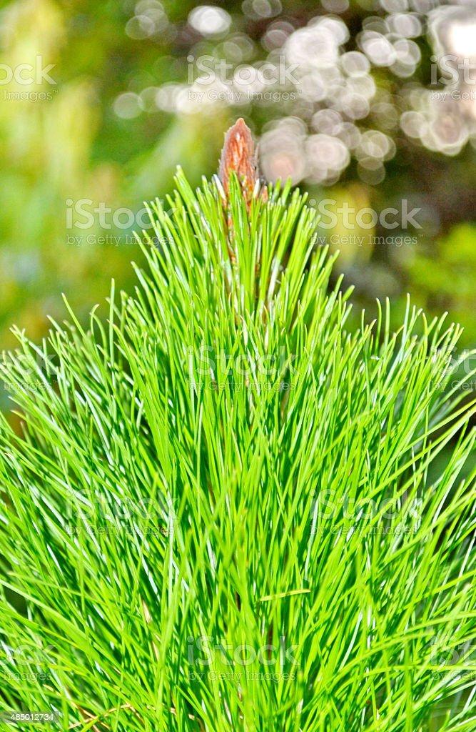 Khasi pine stock photo
