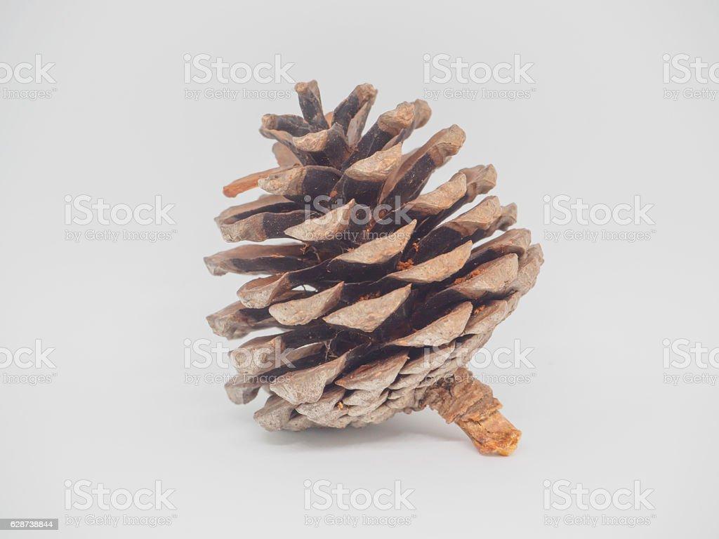 Khasiya Pine on white background stock photo