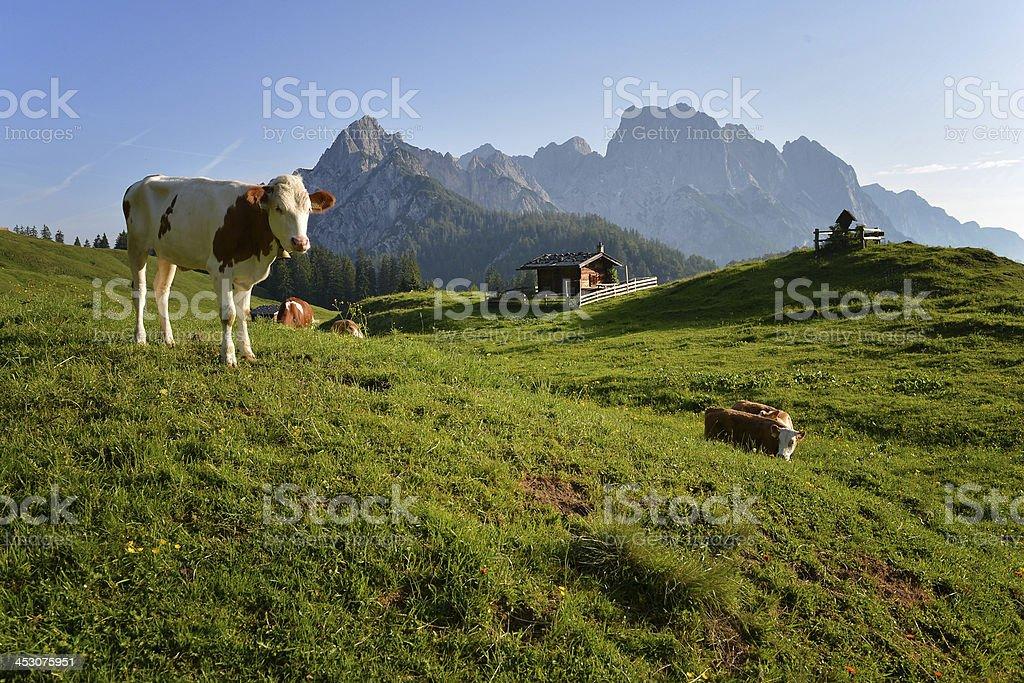 Kühe auf der Alm – Foto