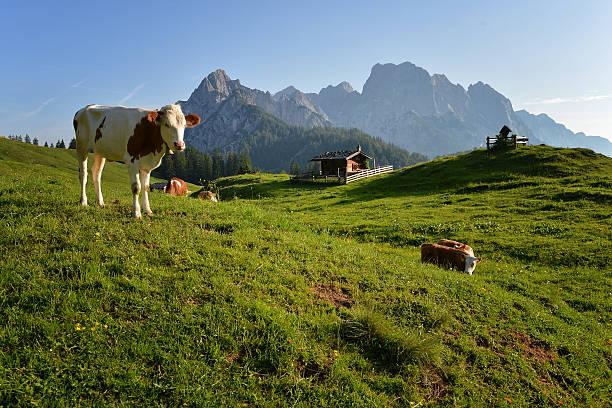 kühe auf der alm - allgäu stock-fotos und bilder