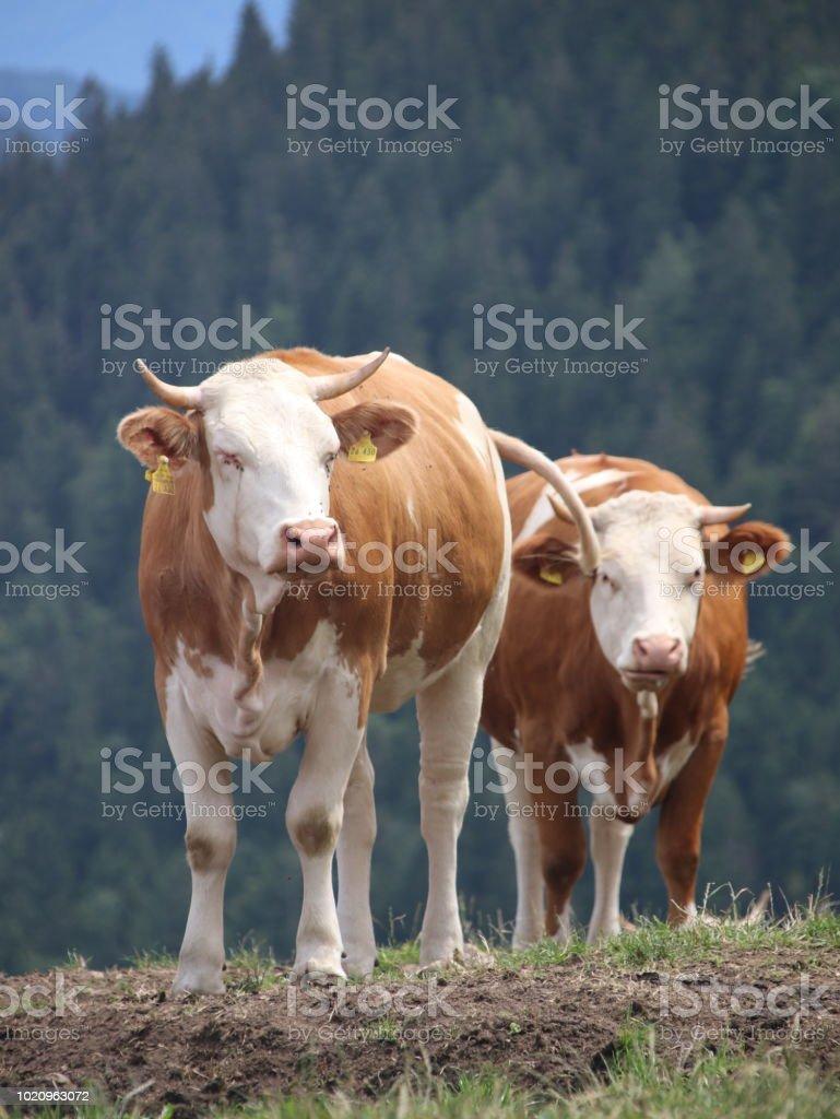 Kühe stock photo