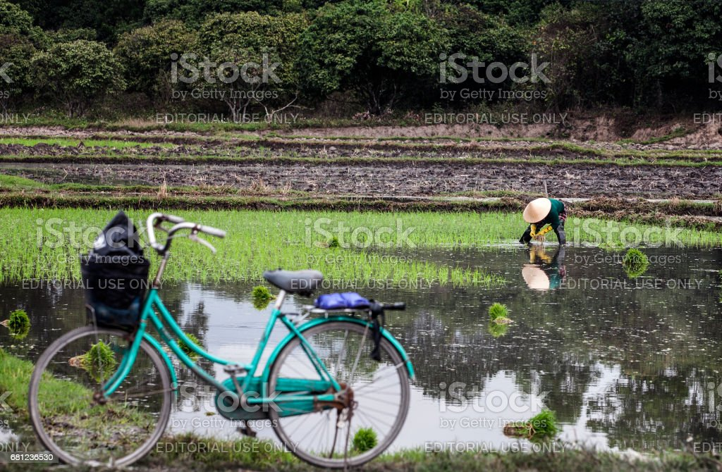 Khmer women working on rice field in Mekong delta royalty-free stock photo