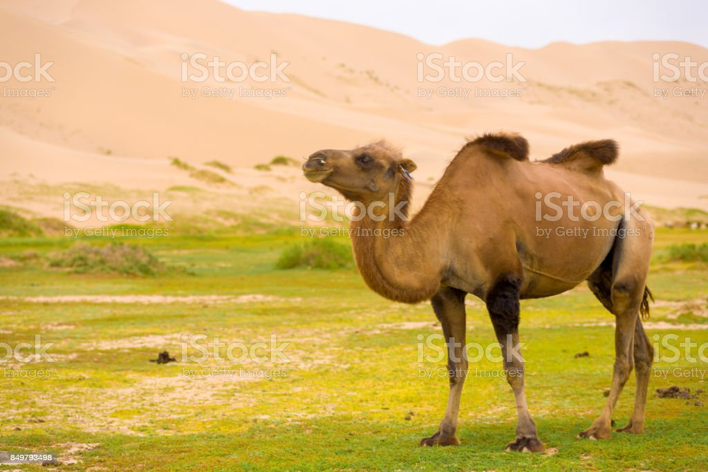 Khongor Els Sand Dune Sagging Bactrian Camel Hump stock photo