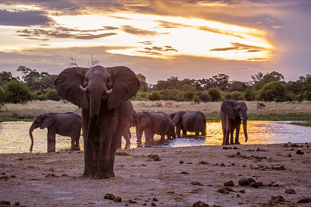 khwai elephants - wildlife conservation stock photos and pictures