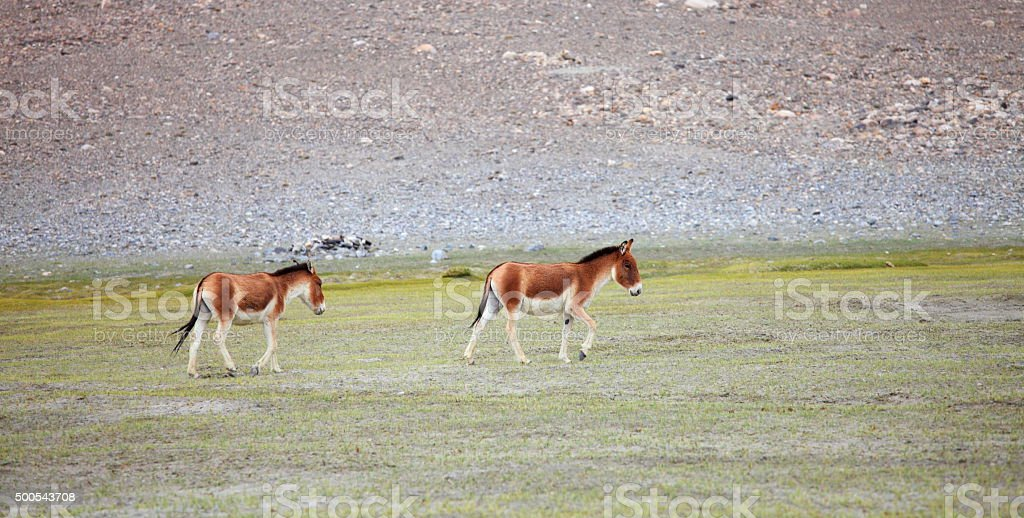 Kiang Tibetan Wild Ass Stock Photo More Pictures Of 2015