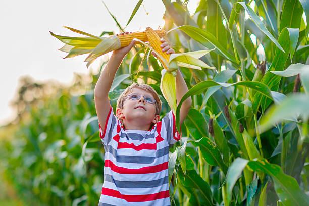 kid boy with sweet corn on field outdoors - rustikaler hinterhof stock-fotos und bilder
