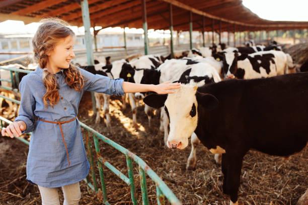 kid girl feeding calf on cow farm. Countryside, rural living, agriculture concept stock photo