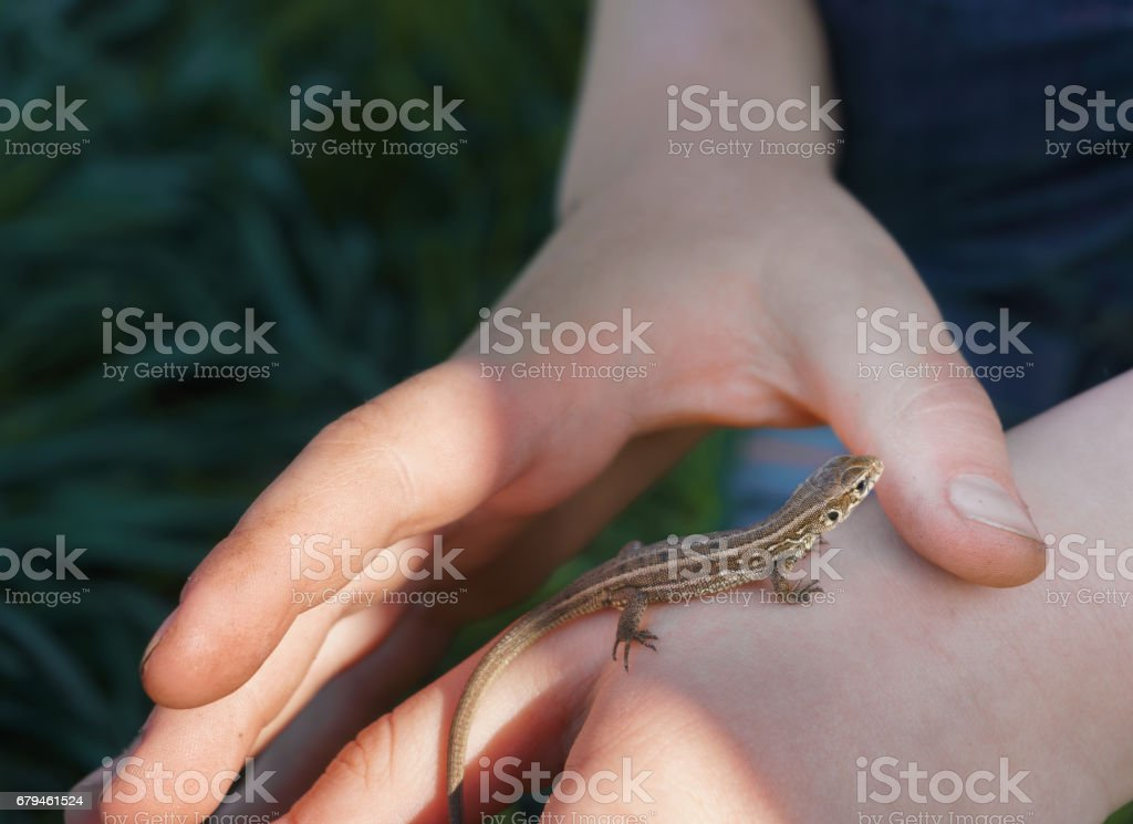 kid hand holding a brown lizard royalty-free stock photo