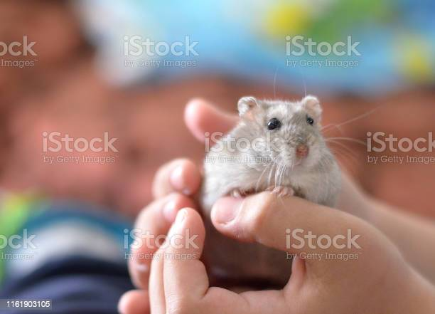 Kid holding a cute grey hamster children and pets picture id1161903105?b=1&k=6&m=1161903105&s=612x612&h=l byc238h9lcvvjg9fqiplsk8cslzylpyt45c knhuw=