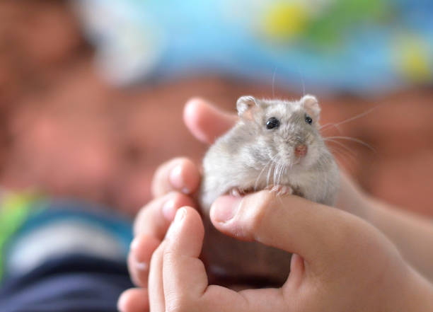 Kid holding a cute grey hamster, children and pets. stock photo