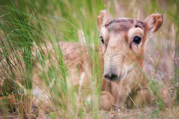 kind saiga tatarica wird in der roten liste aufgeführt. - afrikanische steppe dürre stock-fotos und bilder