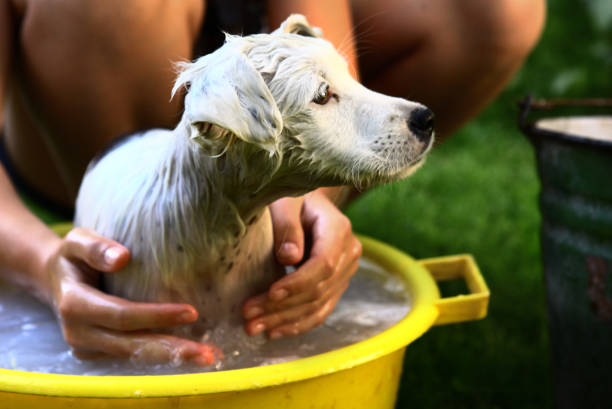 kid wash white puppy dog in yellow basin kid wash white puppy dog in yellow basin on summer garden green background cute teen couple stock pictures, royalty-free photos & images