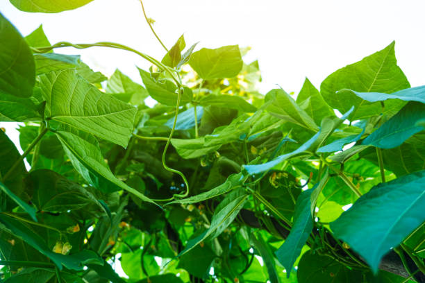 kidney bean grow in summer in agriculture field stock photo