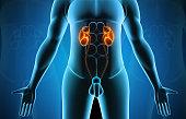istock Kidney in human body 1250207053