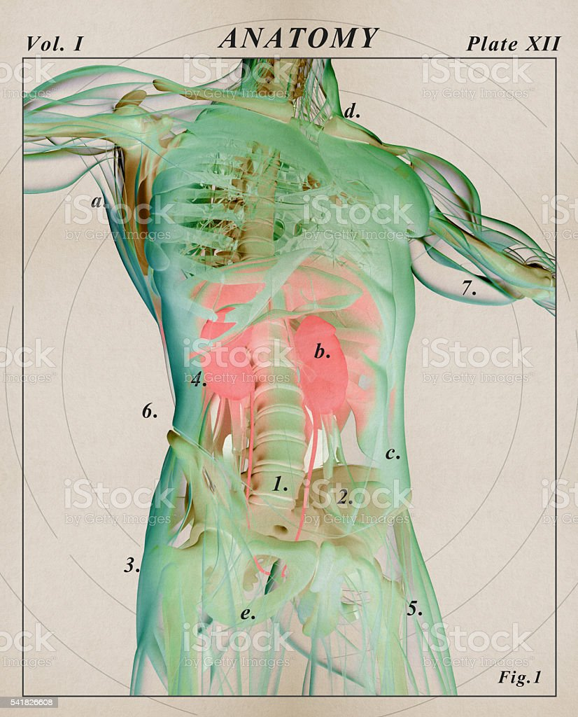 Kidneys Human Anatomy Xraylike View Futuristic Scan Stock Photo