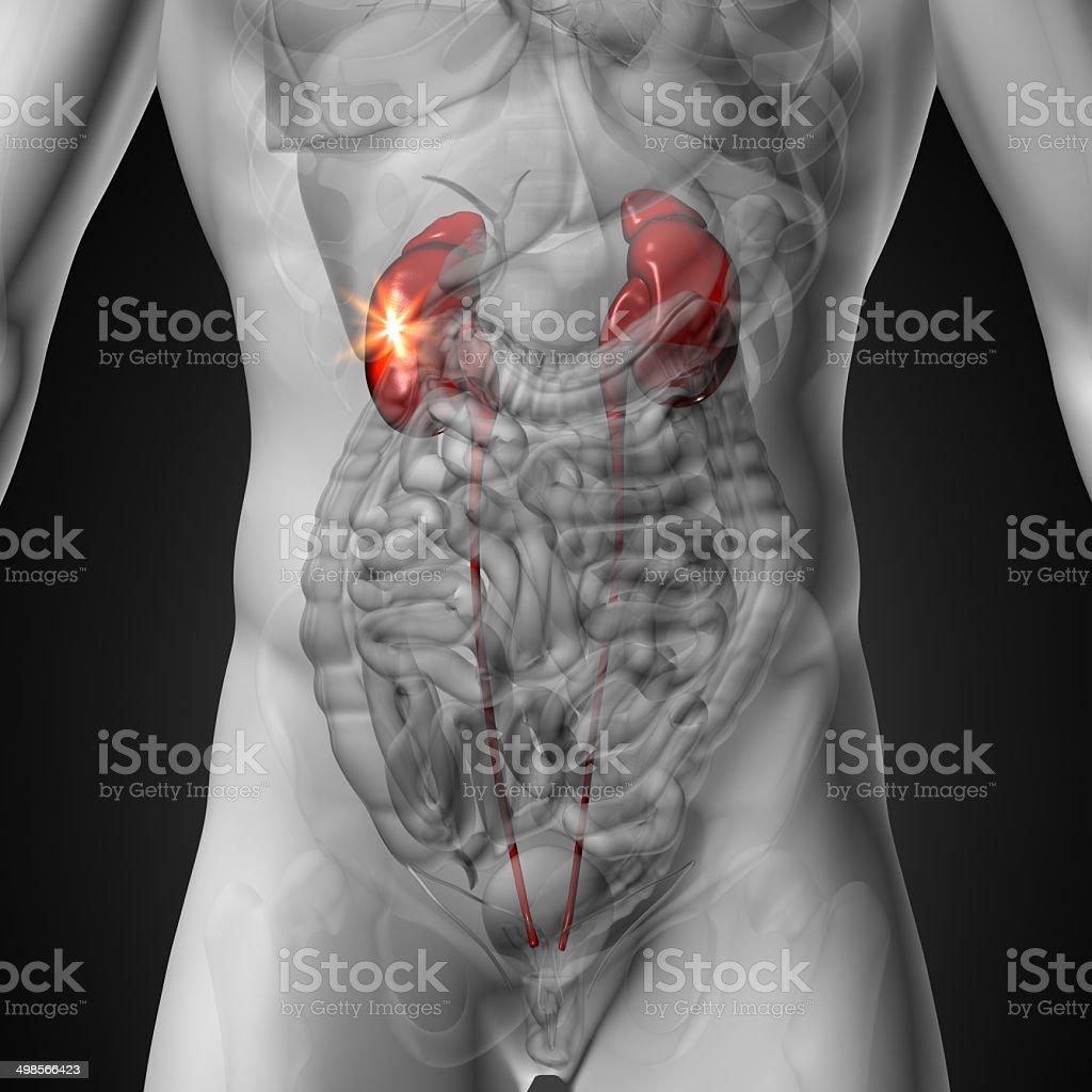 Kidneys - Male anatomy of human organs - x-ray view stock photo